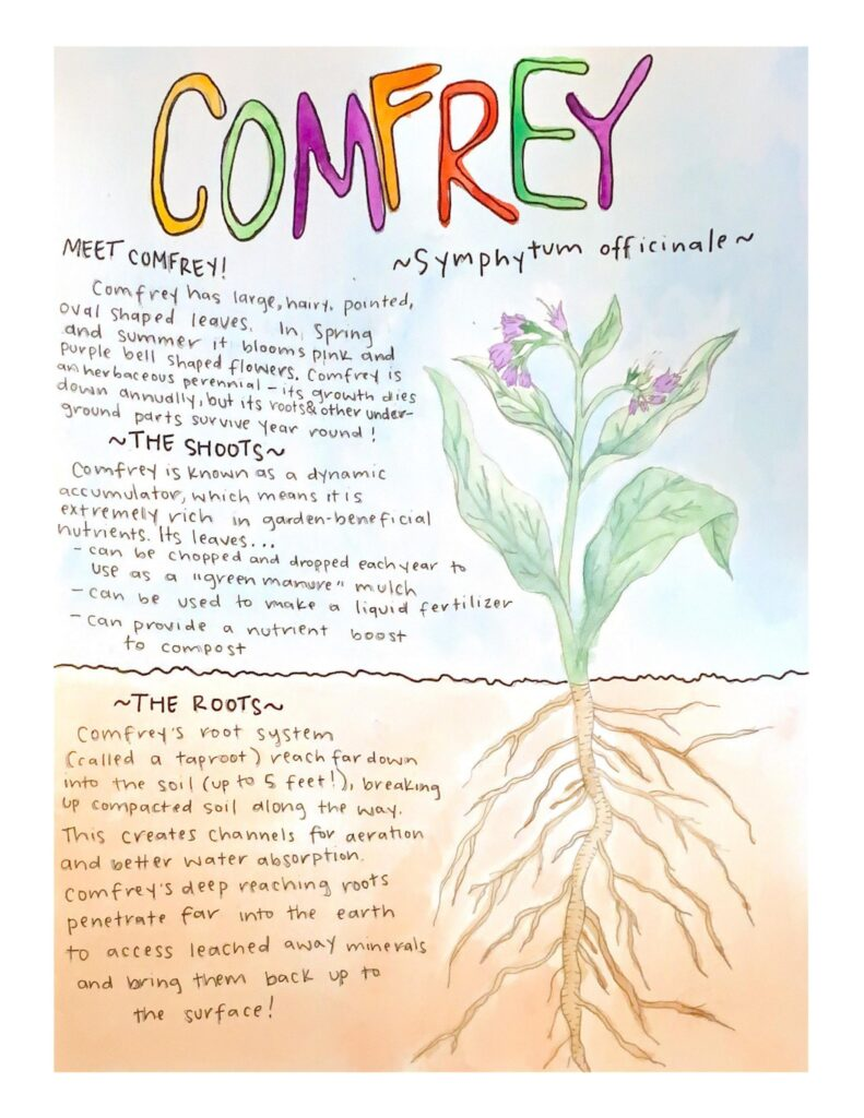 Comfrey watercolor factsheet