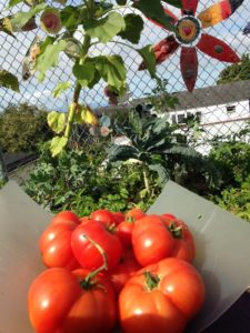 Tomatoes for the Lowell cafeteria